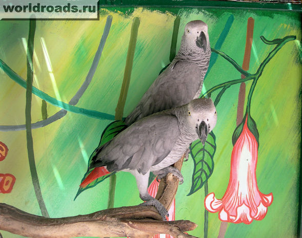 попугаи жако