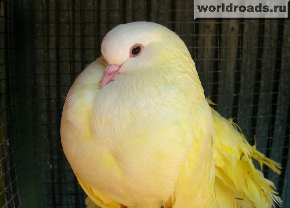 жёлтый голубь