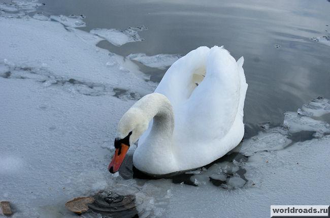Лебедь в полынье