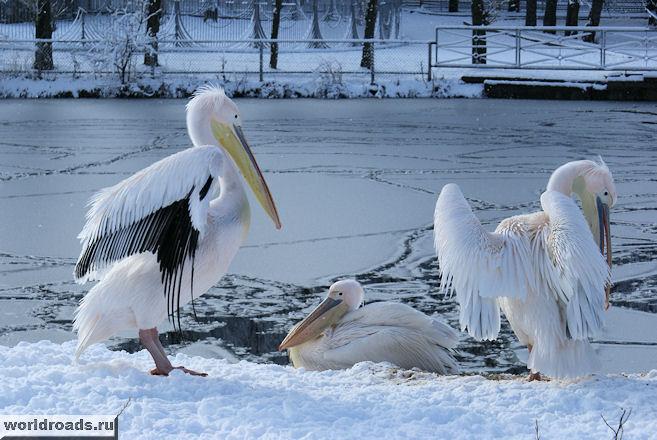 Пеликаны на снегу