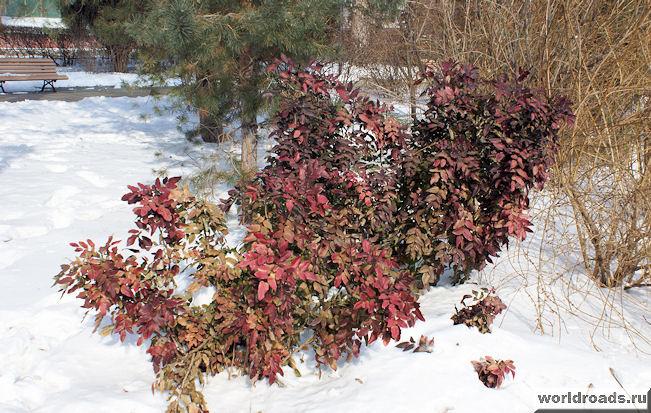 Красные кусты на снегу