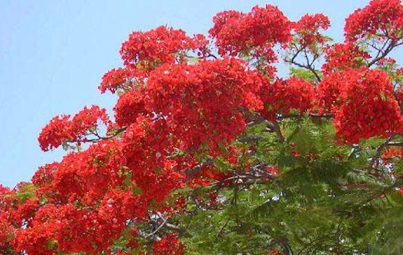 Цветущее огненное дерево