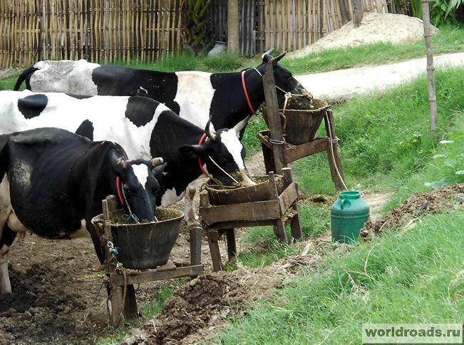 Обед у коров