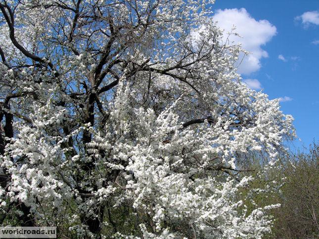 Дерево цветёт