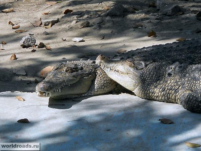 Крокодилья нежность
