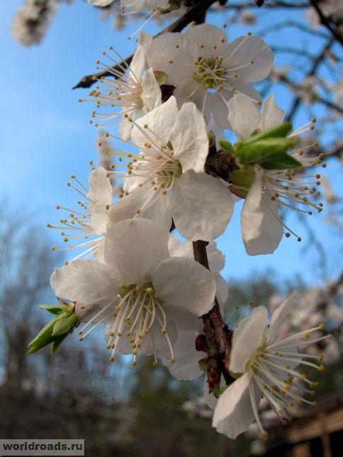 Цветы абрикоса