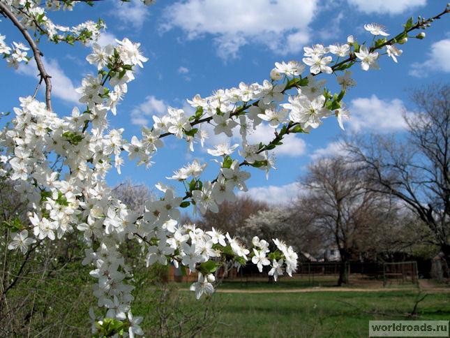Голубое небо, белые цветы