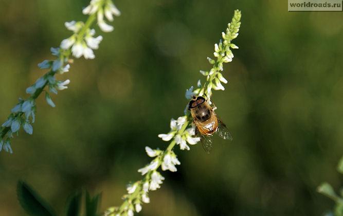 Пчёлка