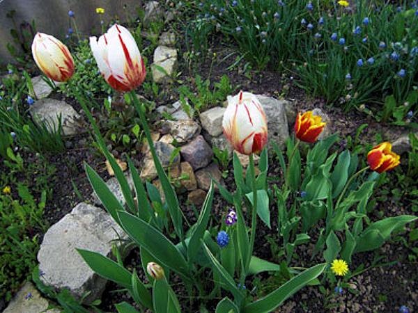 6. Тюльпаны и синие мускари