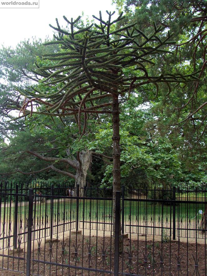Чилийская араукария в Воронцовском парке