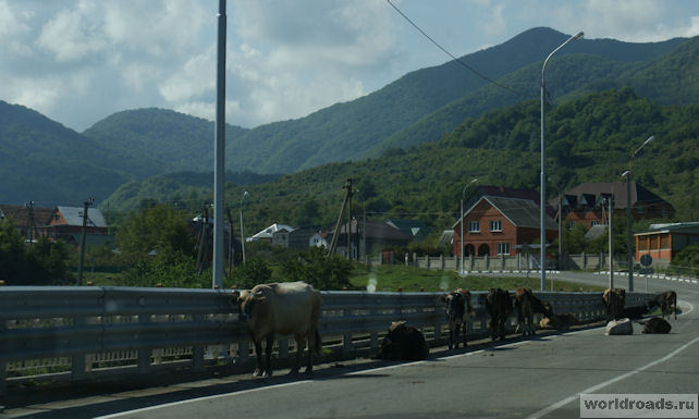 Коровы на мосту