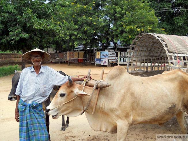 Бычья упряжка в Мьянме