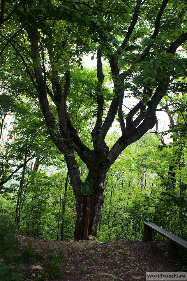 500-летний граб в Сафари-парке Геленджика