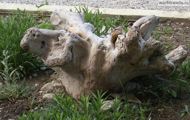 Коряга-овца