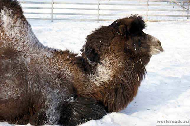 Верблюд на снегу