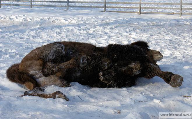 Верблюд валяется в снегу