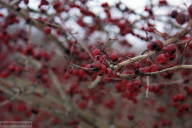 Дерево с красными ягодами