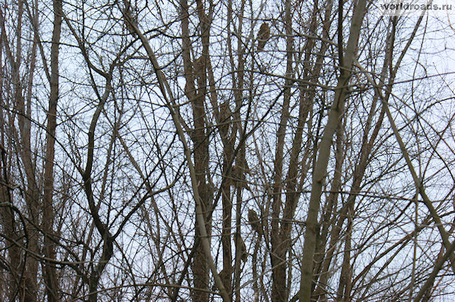 Старочеркасские совы