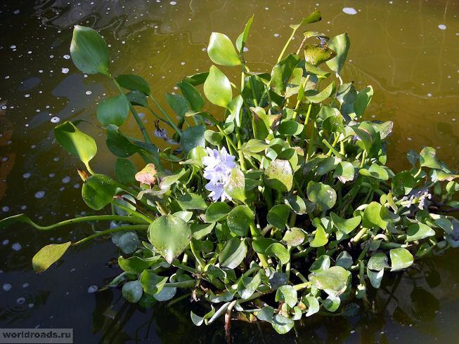 Цветы в пруду