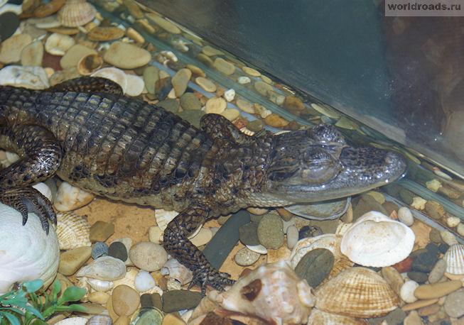 Каймановый крокодил