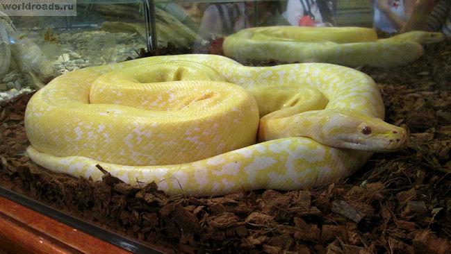 Тигровый питон-альбинос